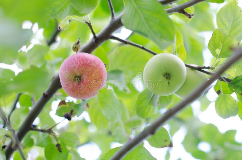 Органические красные и зеленые яблоки вися на ветви дерева стоковые фотографии rf