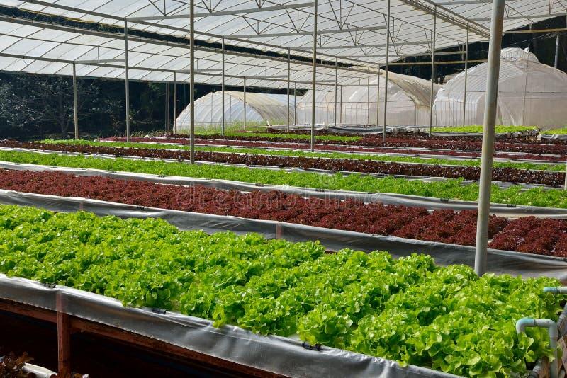 Органические овощи в hydroponic ферме стоковая фотография