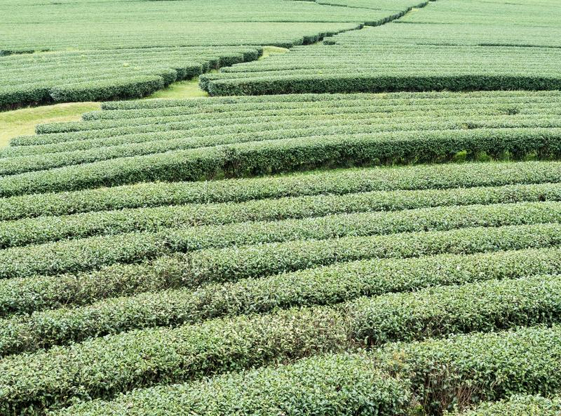 Органические строки чая на холме наклона стоковые изображения