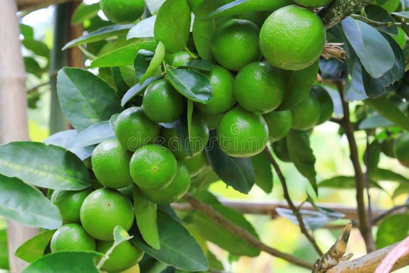 Органические цитрусовые фрукты известки вися на дереве стоковые изображения