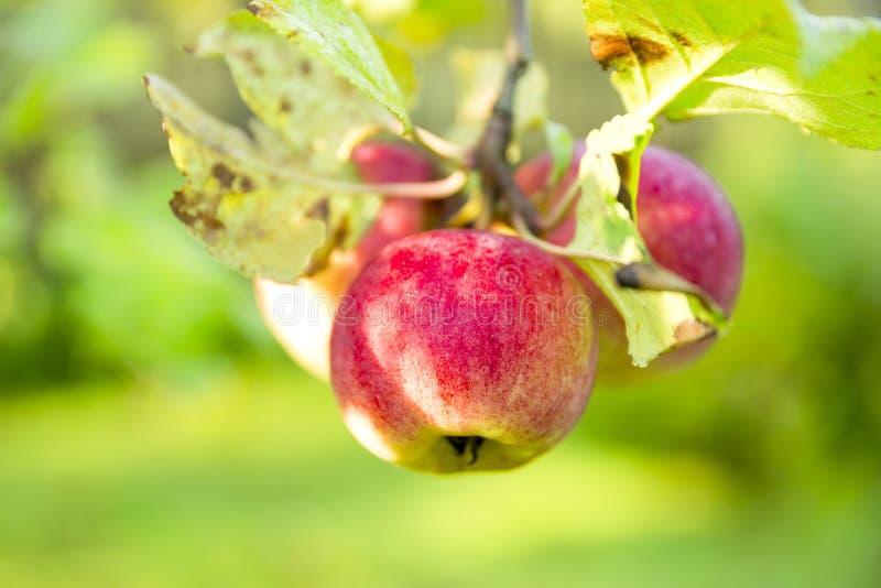 Органические яблоки вися от ветви дерева в яблоневом саде стоковая фотография