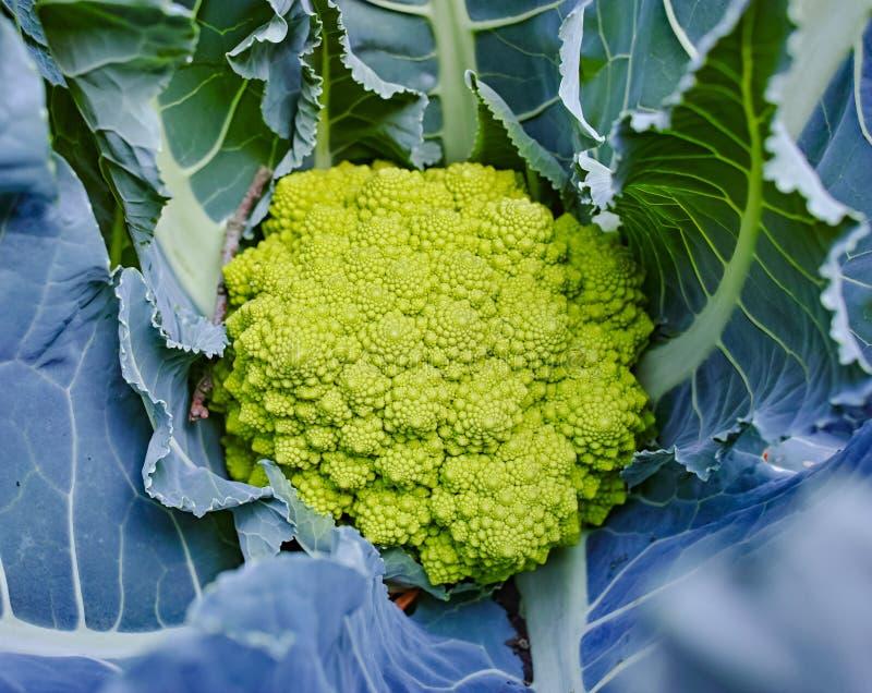 Органический зрелый зеленый брокколи Romanesco или римская цветная капуста, Broccolo Romanesco, цветная капуста романск, новый сб стоковые фотографии rf