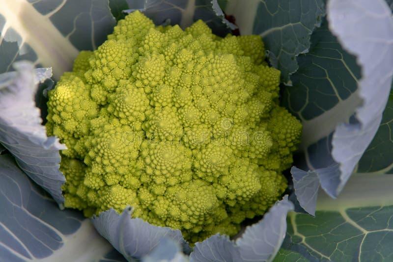 Органический зрелый зеленый брокколи Romanesco или римская цветная капуста, Broccolo Romanesco, цветная капуста романск, новый сб стоковые изображения rf