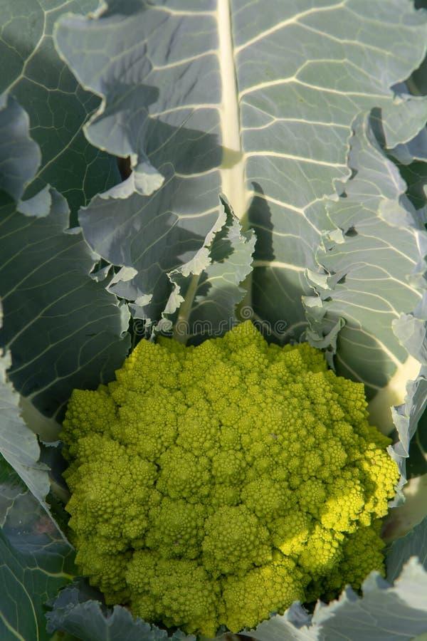 Органический зрелый зеленый брокколи Romanesco или римская цветная капуста, Broccolo Romanesco, цветная капуста романск, новый сб стоковые изображения