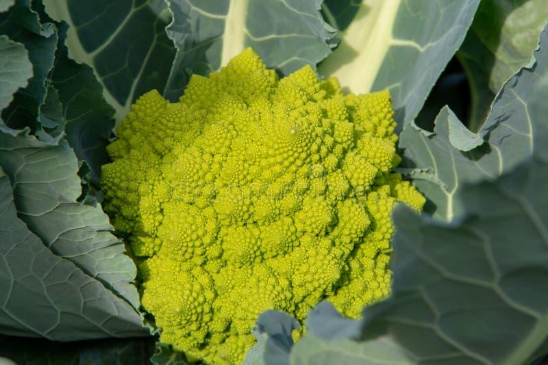 Органический зрелый зеленый брокколи Romanesco или римская цветная капуста, Broccolo Romanesco, цветная капуста романск, новый сб стоковые фото