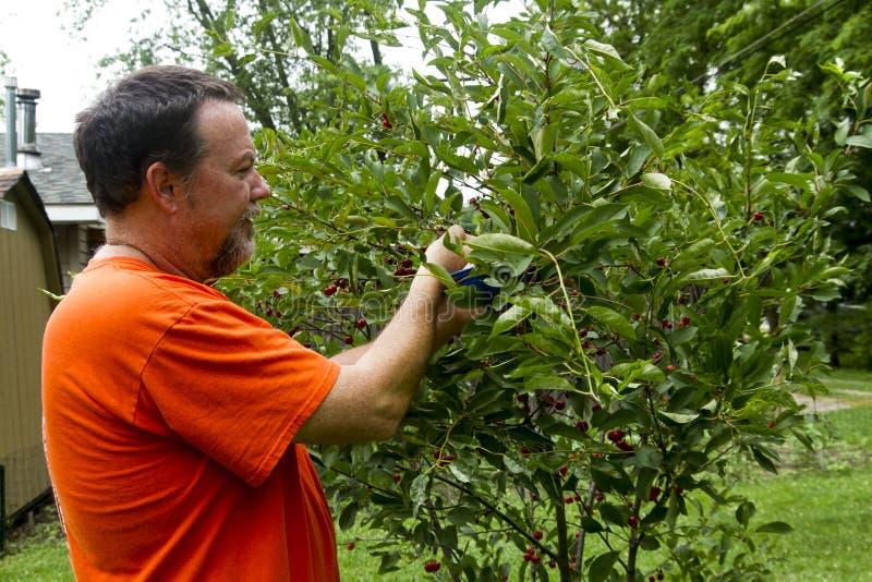Органический фермер выбирая сладостные вишни стоковая фотография rf