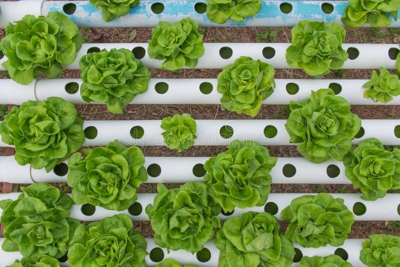Органический hydroponic овощ в ферме культивирования стоковое фото rf