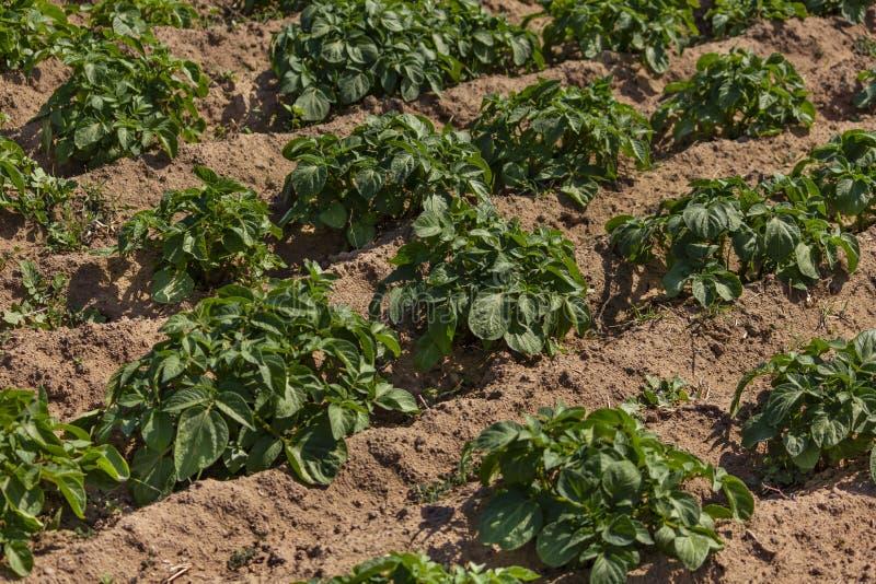 Органическое био здоровое поле картошки в деревне в северном Марокко стоковое изображение
