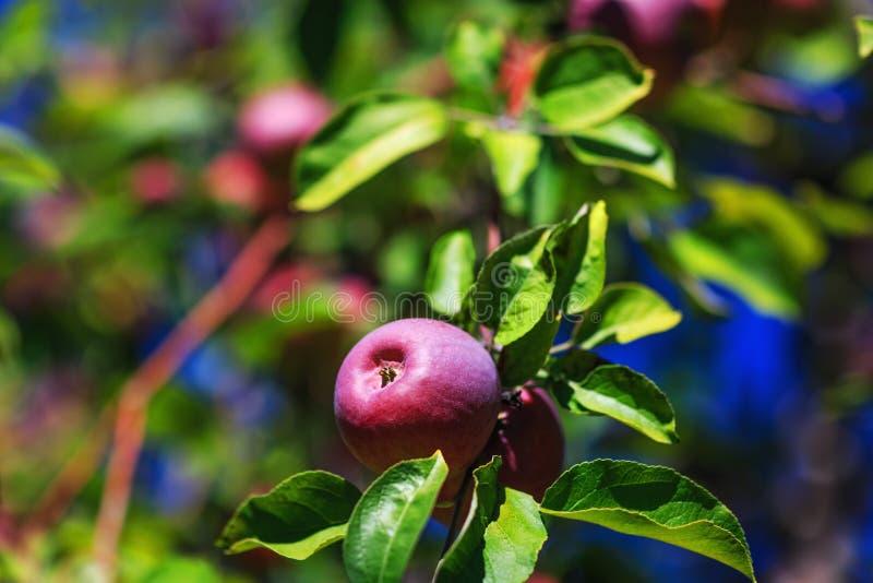 Органическое доморощенное красное яблоко с листьями и стержень изолированный на a стоковые фото