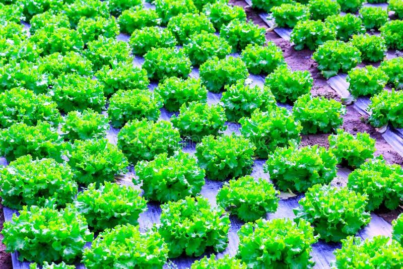 Органическое зеленое культивирование заводов салата или овоща салата в r стоковые изображения