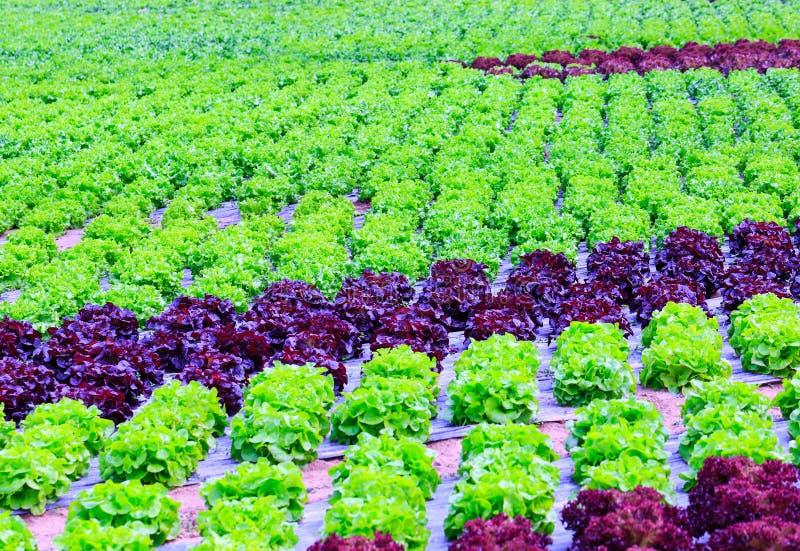 Органическое зеленое культивирование заводов салата или овоща салата в r стоковые изображения rf