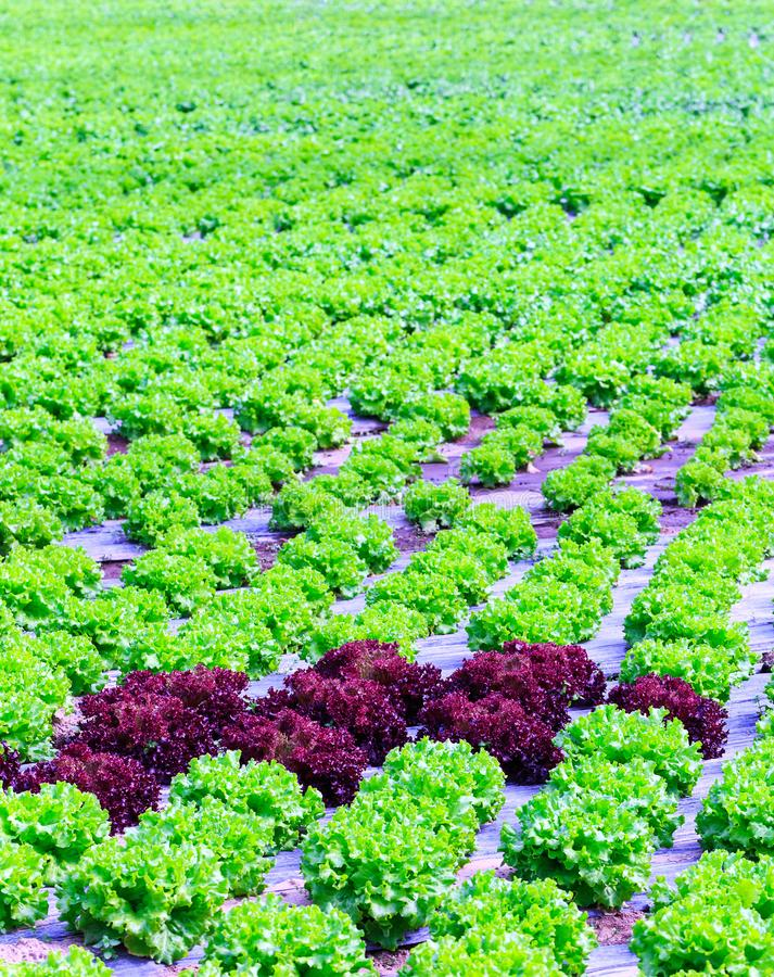 Органическое зеленое культивирование заводов салата или овоща салата в r стоковая фотография