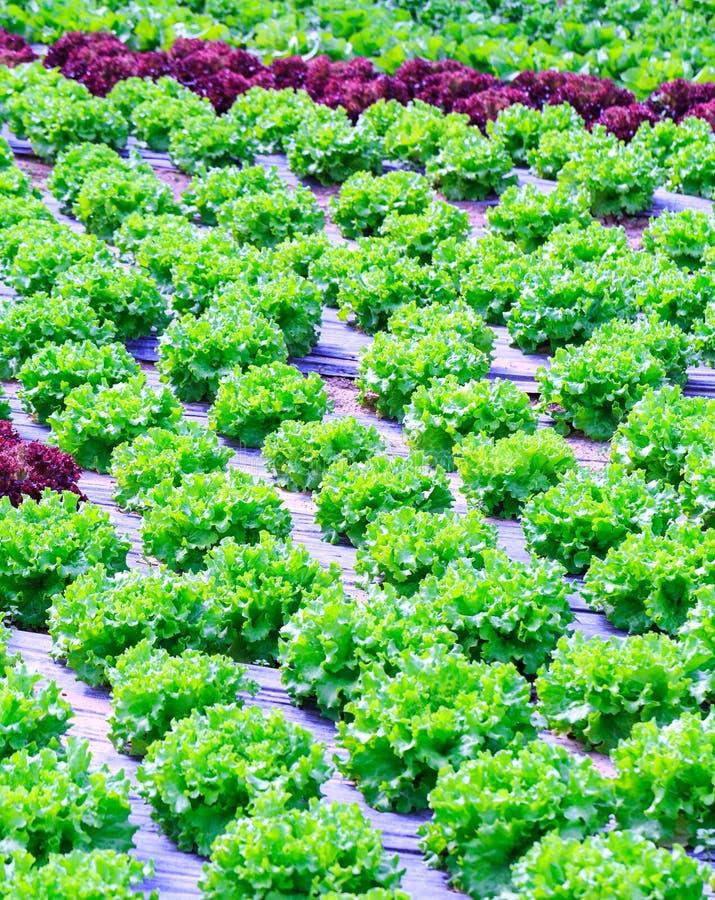 Органическое зеленое культивирование заводов салата или овоща салата в r стоковое фото