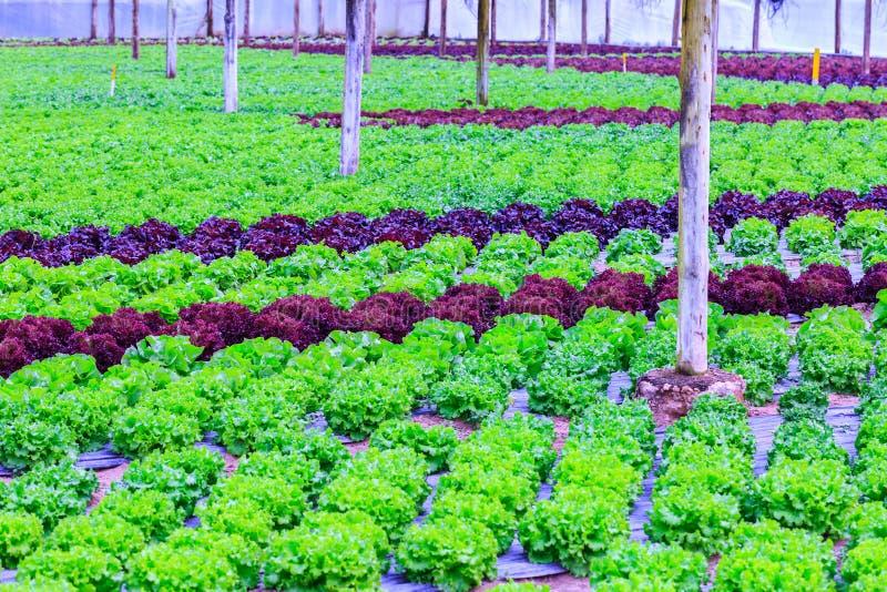 Органическое зеленое культивирование заводов салата или овоща салата в r стоковая фотография rf