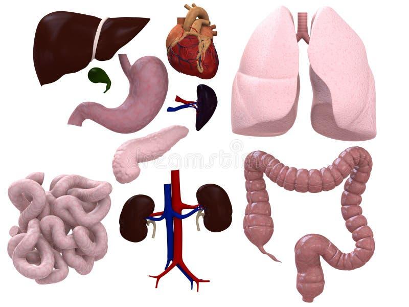 органы диаграммы иллюстрация штока