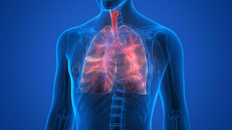 Органы человеческого тела (легкие) иллюстрация штока