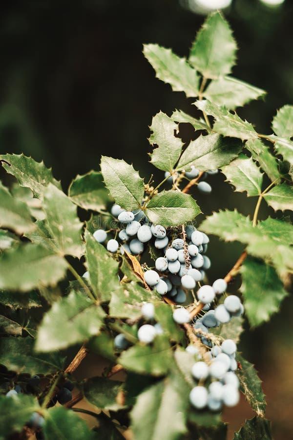 Орегон-виноградина стоковые фото
