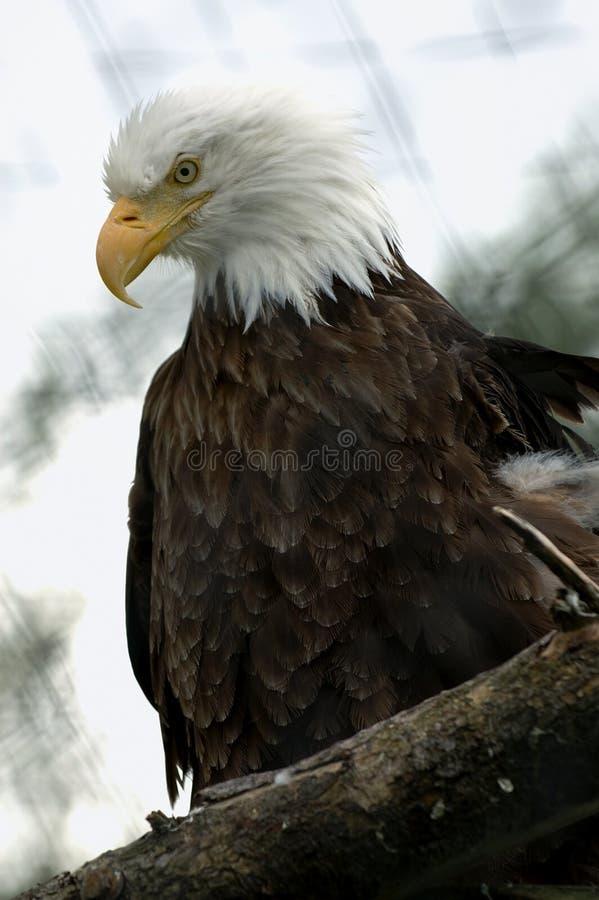 орел Аляски облыселый стоковое фото rf