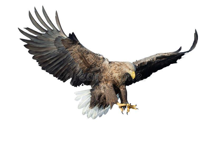 Орел бело-замкнутый взрослым в полете Вид спереди белизна изолированная предпосылкой стоковые изображения rf