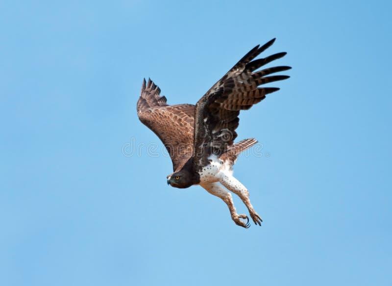 орел военный стоковое изображение rf