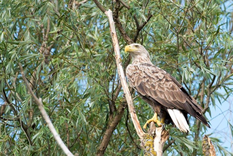 Орел замкнутый белизной & x28; Albicilla& x29 Haliaeetus; стоковое изображение