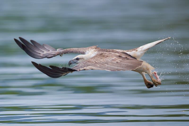 орел летая полная скорость моря стоковое изображение rf