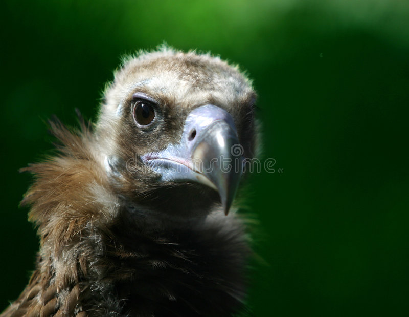 орел малый стоковая фотография rf