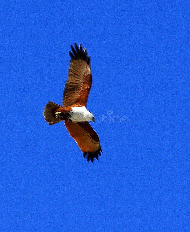 Орел моря Брауна в полете стоковое фото rf