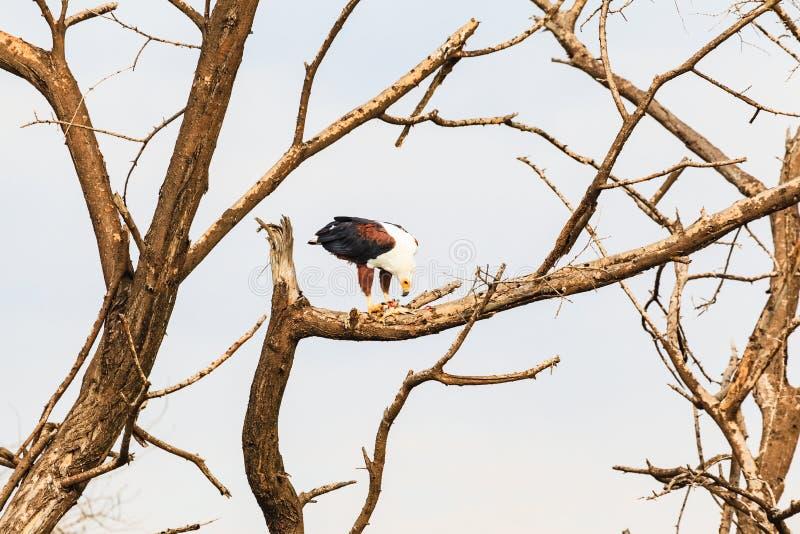 Орел пожирает рыб на ветви Baringo, Кения стоковые изображения