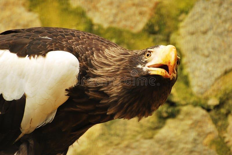орел смотря вверх стоковое изображение