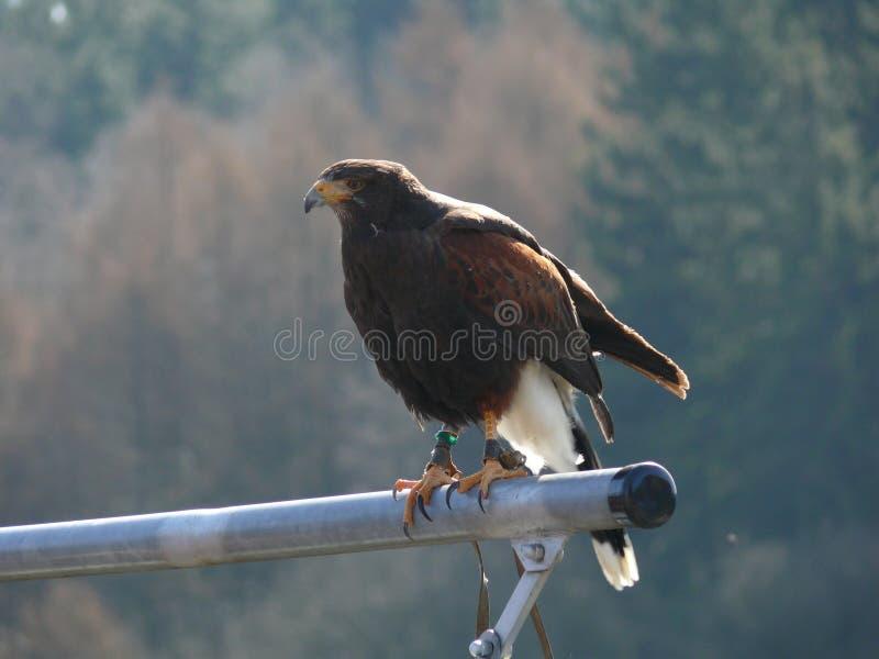 Орел степи стоковое фото