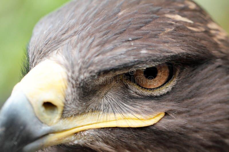 Орел степи стоковые изображения