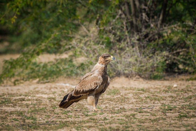 Орел хищной птицы рыжий или rapax Аквила портрет в зеленой предпосылке на tal chappar стоковое фото rf