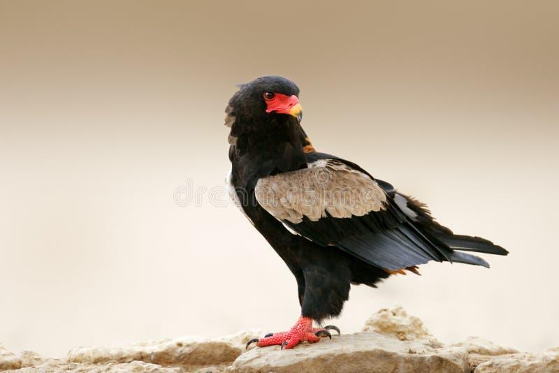 Орел Bateleur стоковые изображения rf