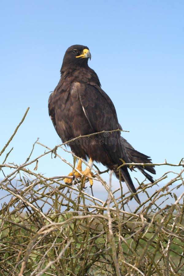 орел galapagos стоковая фотография rf