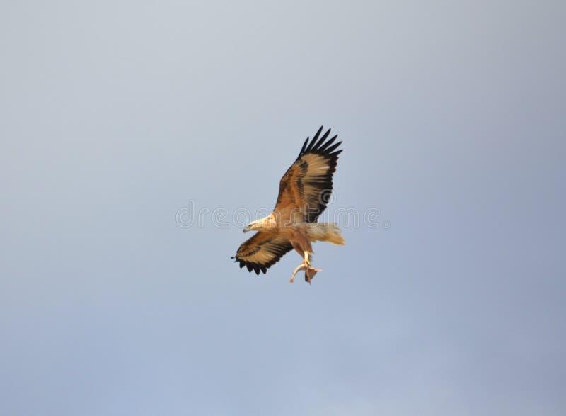 Орел летания с рыбами стоковые фотографии rf