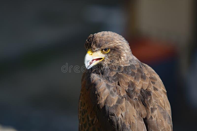 Орел, деталь головы орлов стоковые изображения rf