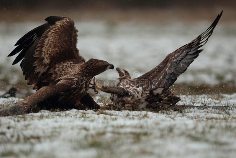 Орел замкнутый белизной стоковые изображения