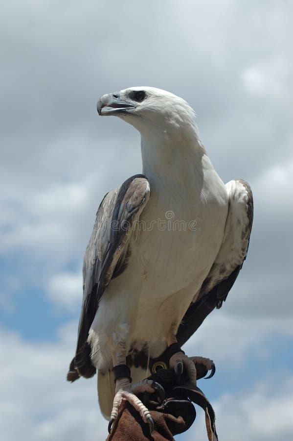 Орел моря стоковое изображение rf