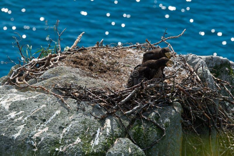 Орел моря Steller стоковое изображение