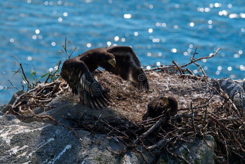 Орел моря Steller стоковые фото