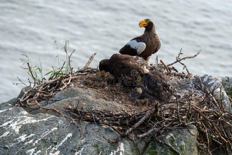Орел моря Steller стоковое изображение rf