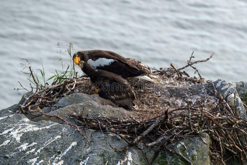 Орел моря Steller стоковая фотография rf