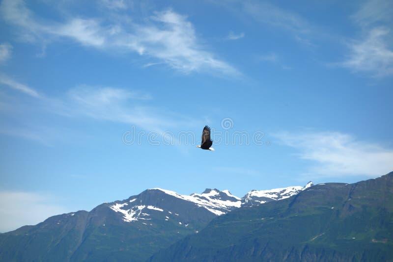 Орел принимая полет на valdez, Аляску стоковое изображение
