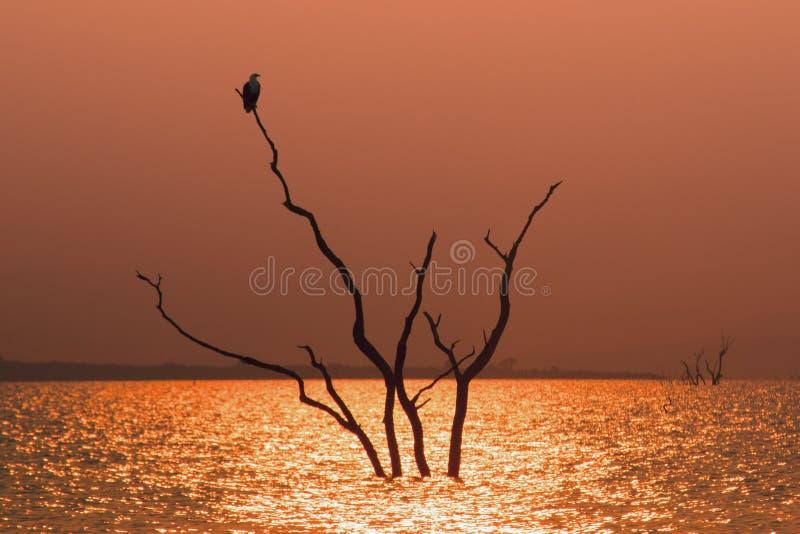 Орел рыб в дереве стоковое фото rf