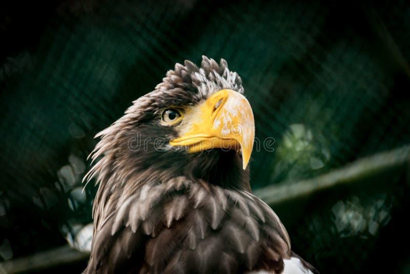 орел самолюбивый стоковые изображения rf