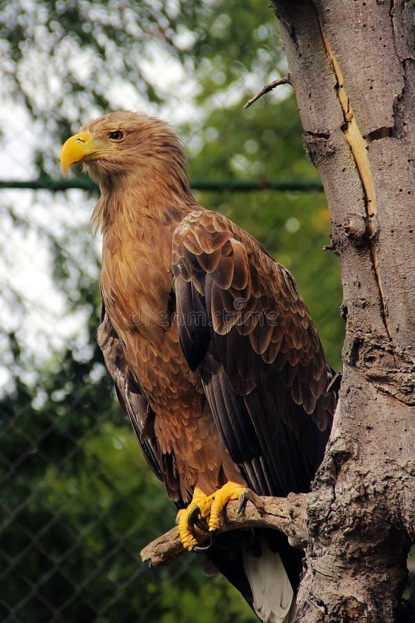 орел уединённый стоковые фото