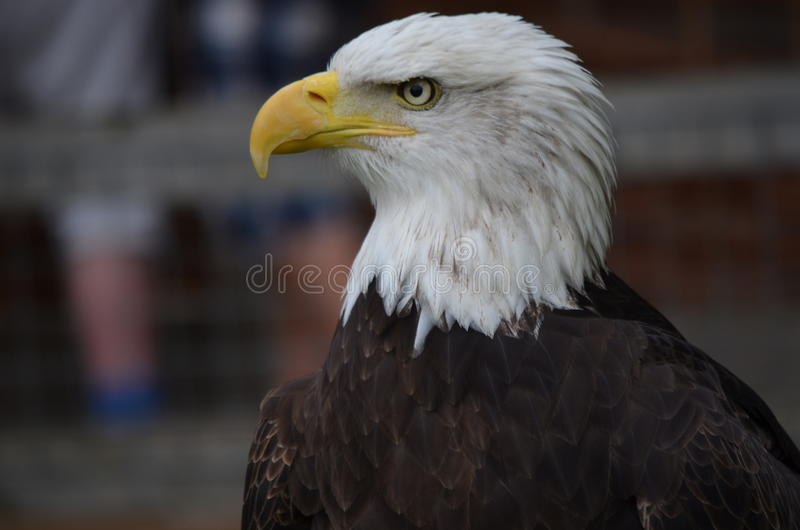 Орел стоковые фото
