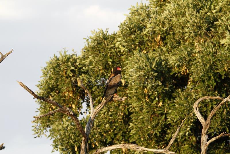 Орел Bateleur стоковая фотография rf