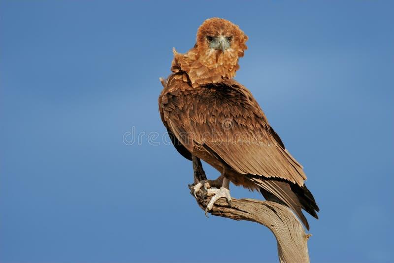 Орел Bateleur стоковое фото rf
